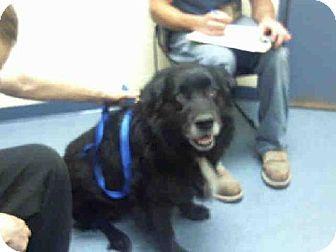 HEINEKEN...Pittsburgh, PA - Labrador Retriever/Siberian Husky Mix. Meet HEINEKEN, a dog for adoption. http://www.adoptapet.com/pet/11417078-pittsburgh-pennsylvania-labrador-retriever-mix