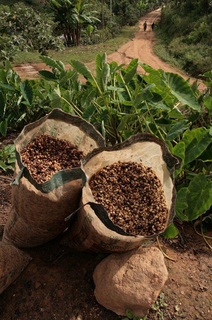 Pudriendo los granos Coffee farm, Coffee photography