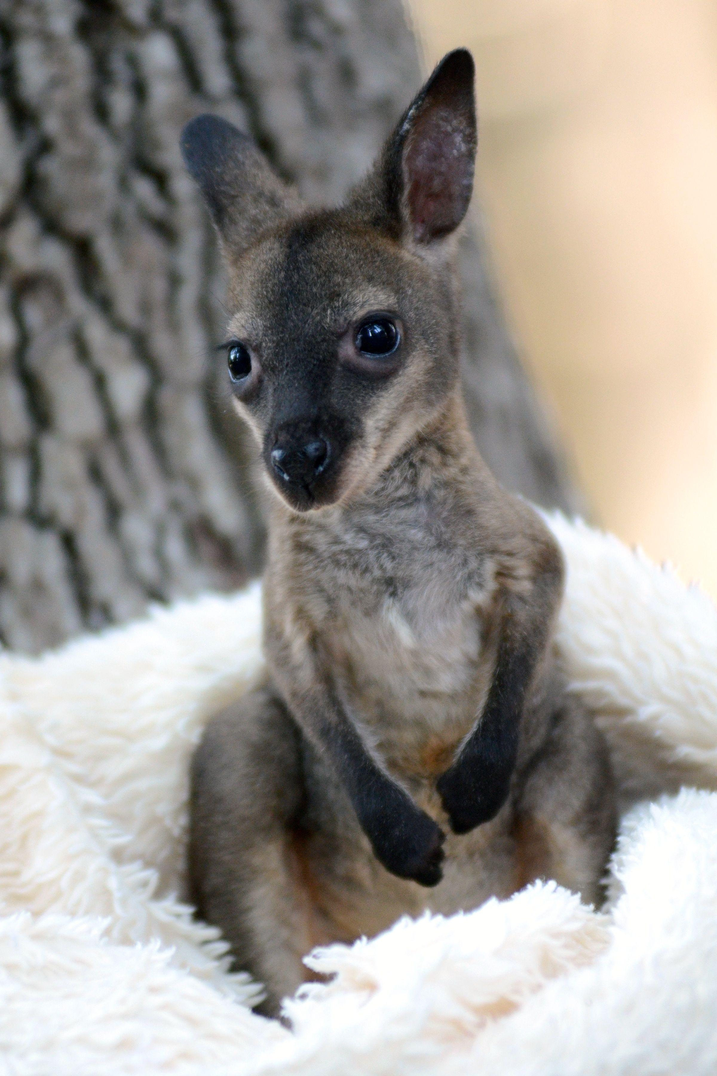 Cute baby wallaby at seaworld san antonio cute animals