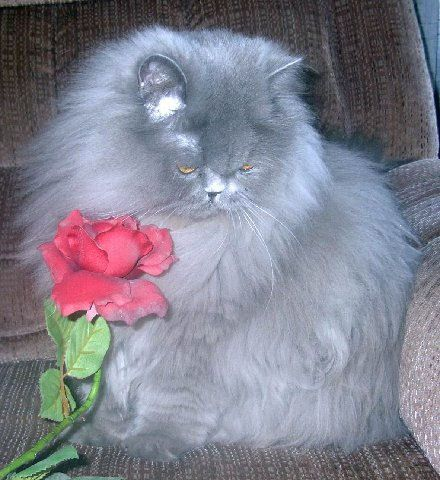 12 Pawsitively Stunning Persian Cats Persian Cat Cats Kittens