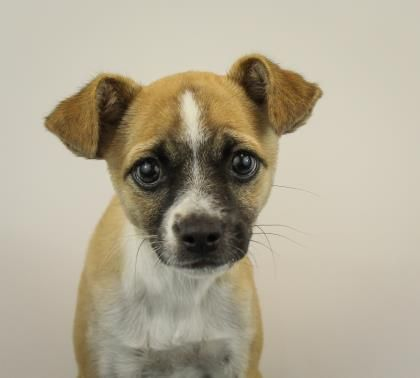 Meet Lexi A 4 Months 12 Days Chihuahua Short Coat Mix Available For Adoption In Greenville Sc Humane Society Dogs Rescue Dogs Pets