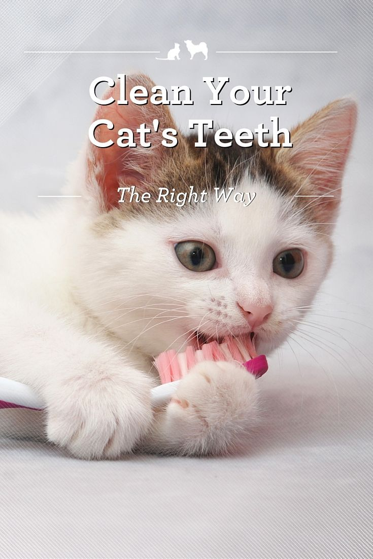 How to clean your cats teeth cat grooming cat health cats