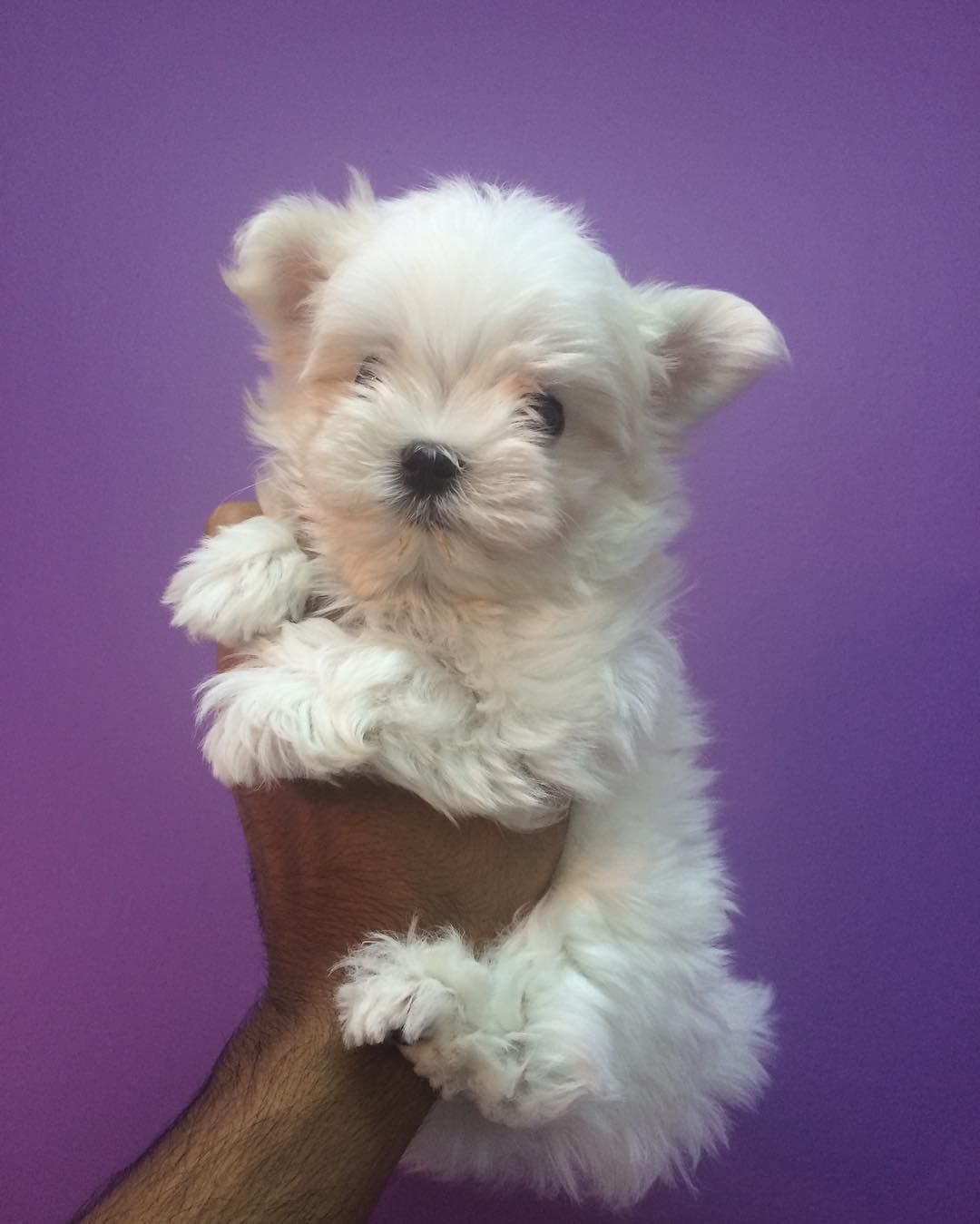 Top Quality Mini Maltese Puppy Available For More Info Contact