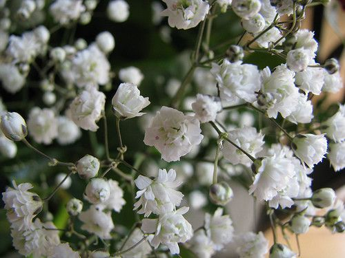 Baby S Breath Flower Essence Gypsophilia Paniculata Eleganes Babys Breath Flowers Babys Breath Flower Essences