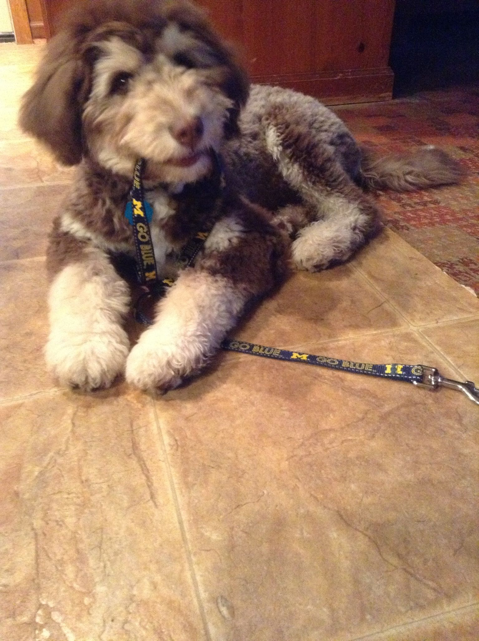 My husky golden doodle mix, Kevin. Puppy dog pictures