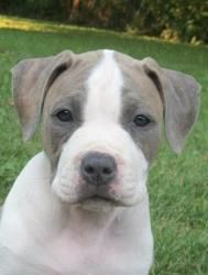 Luke Is An Adoptable American Staffordshire Terrier Dog In Macomb