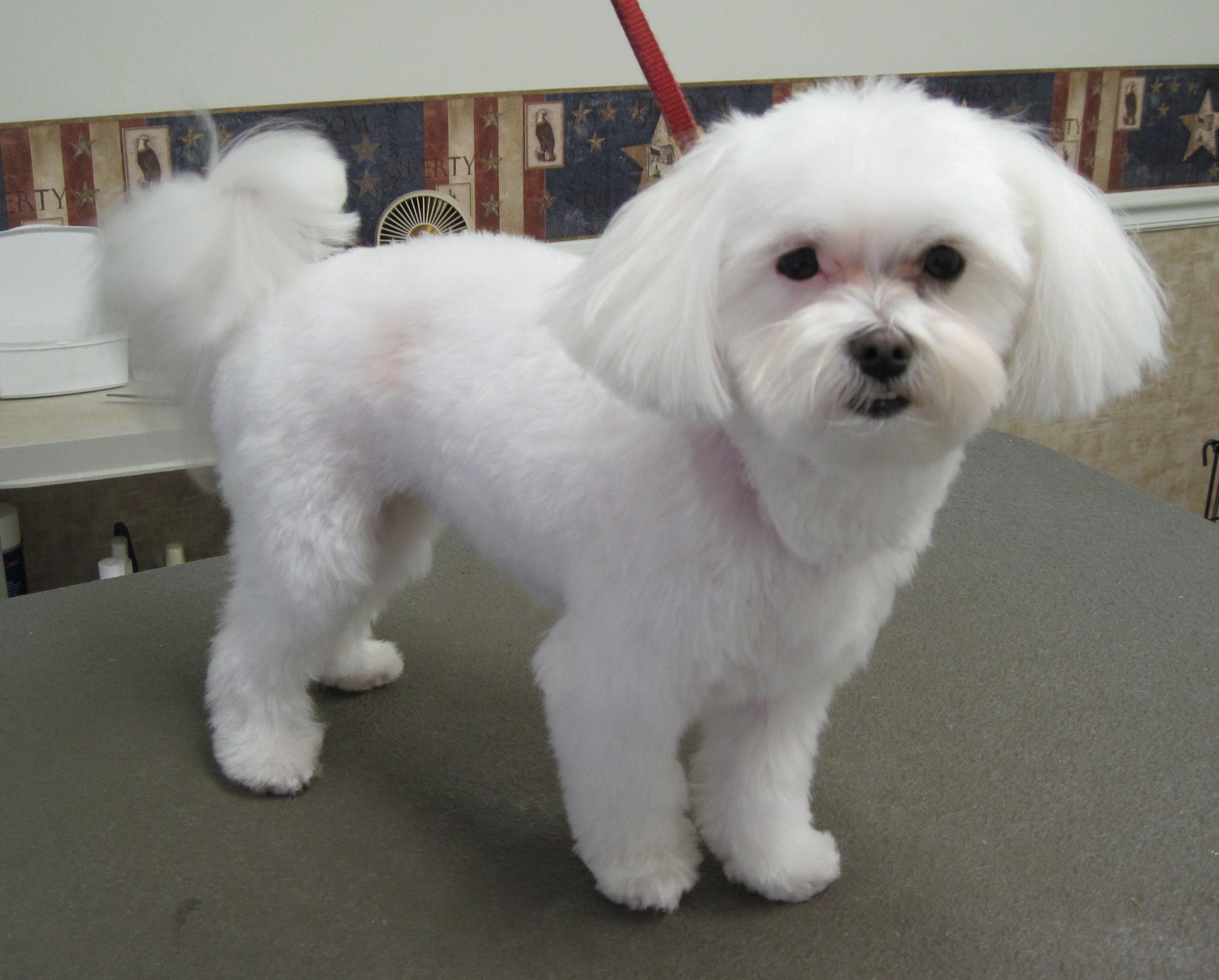 Magic S Pet Salon Home Maltese Haircut Maltese Dogs Haircuts Maltese Poodle