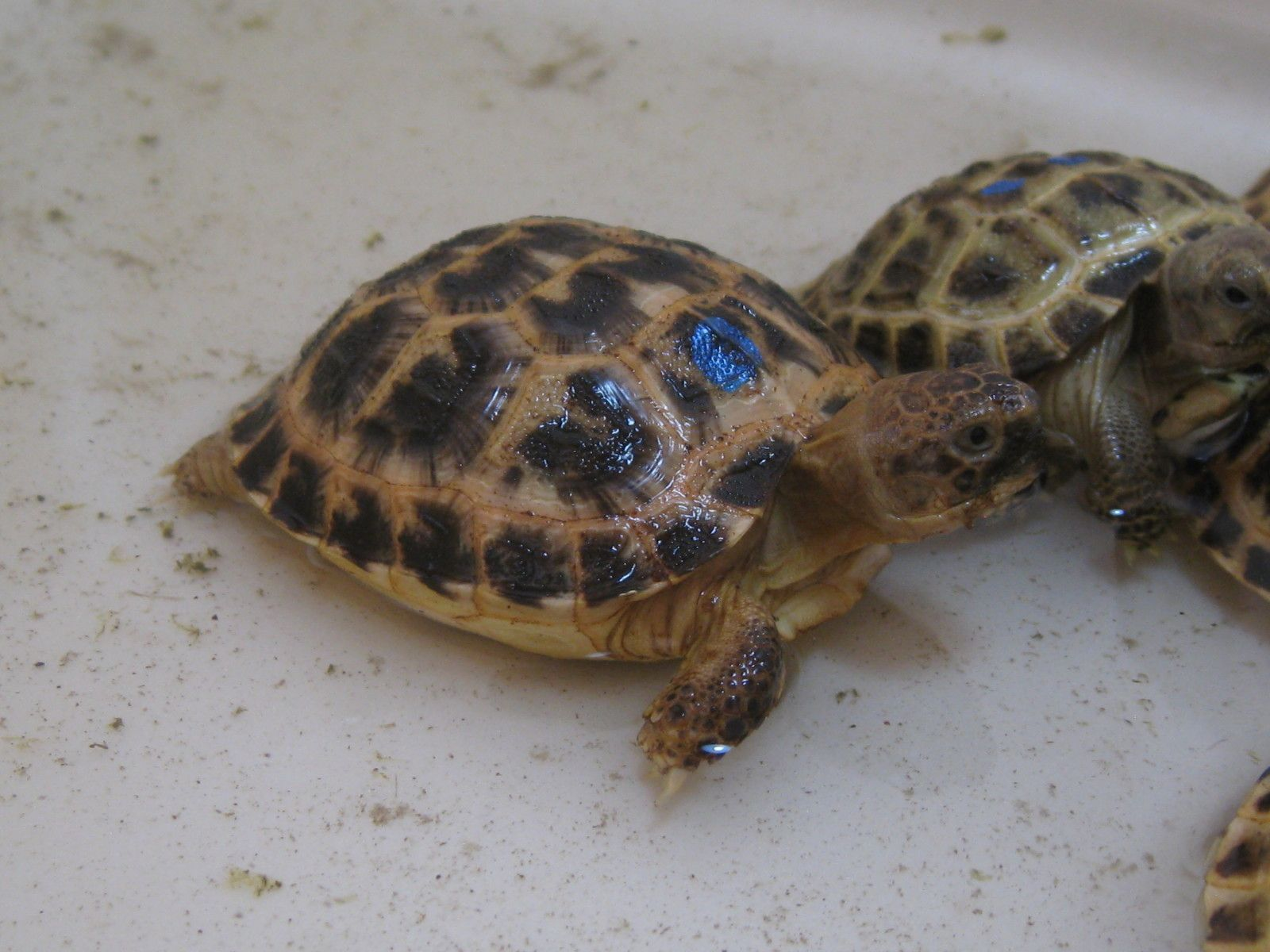Russian tortoise care sheet baby specific tortoise ideas