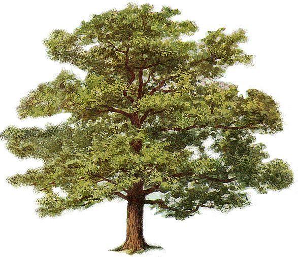 Tree Clipart Oak Tree Tree Clipart Plants