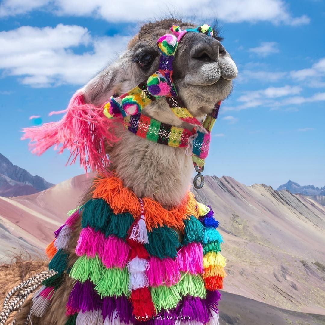 Llamas In Peru Don T Mess Around They Got Style Tag A Friend And