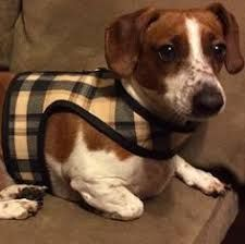 Image Result For Velcro Closure Dog Harness Dogs Dog Clothes