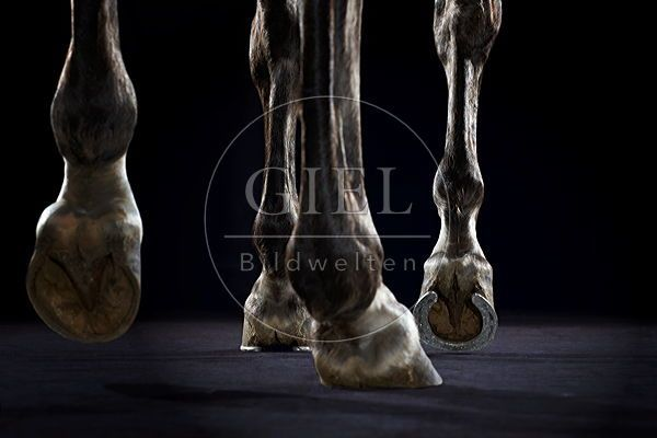 Hufe, Beine eines spanischen Pferdes auf schwarzem Grund\