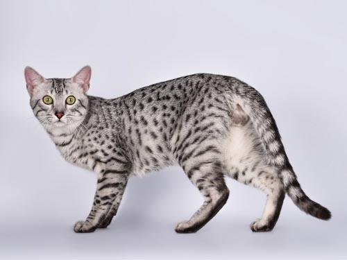 Meet The Great Pharaoh Cat The Egyptian Mau Certapet Large Cat Breeds Egyptian Mau Cat Breeds