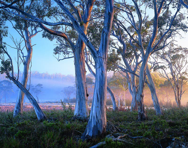 Ghost Gums Australian Trees Tasmania Beautiful Tree