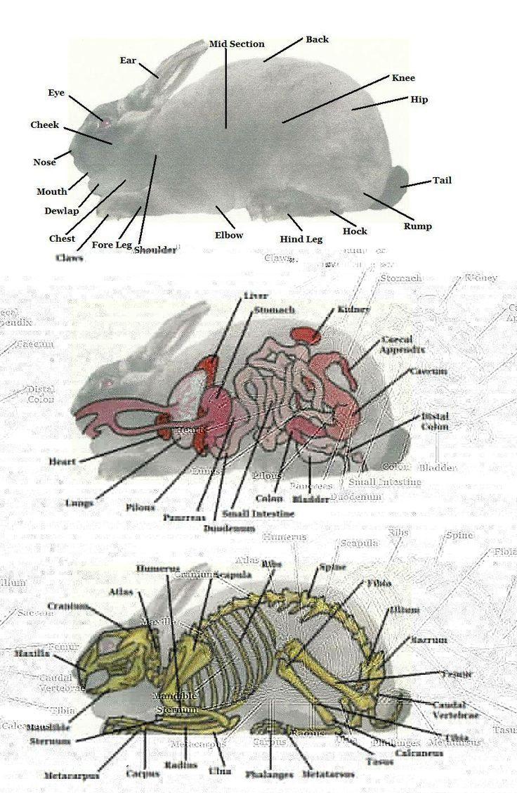 Rabbit Anatomy Rabbit Talk Piffys Health Pinterest Rabbit