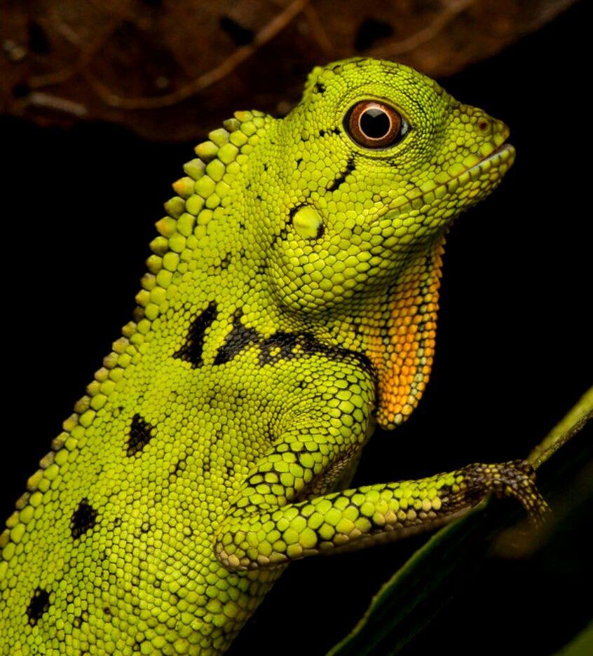 Doria's angleheaded lizard (Gonocephalus doriae