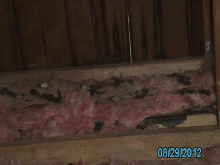 Raccoon Droppings And Damaged Insulation In Attic Raccoon Droppings Food Insulation