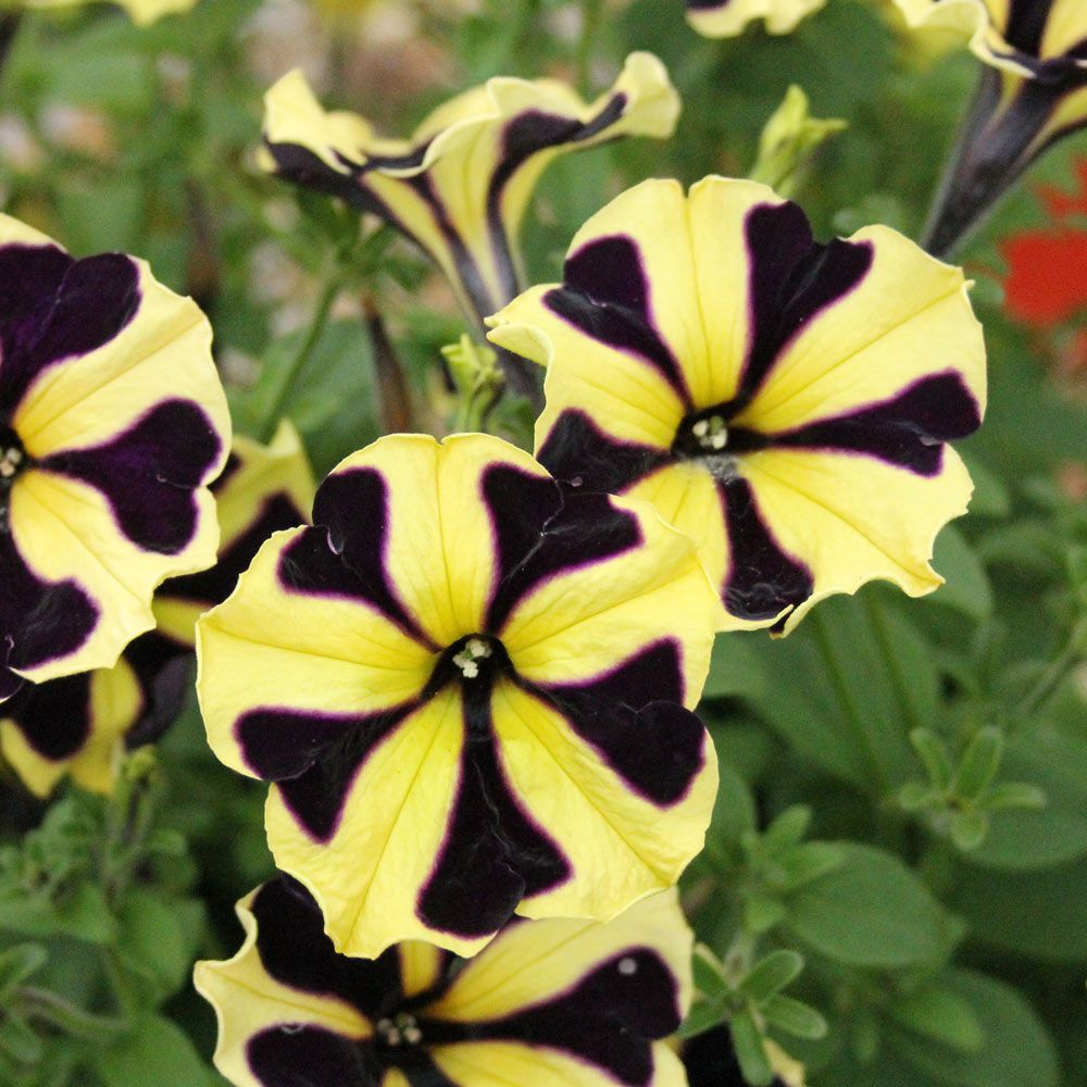 Petunia Yellow Purple Touch Petunias Purple Garden Yellow