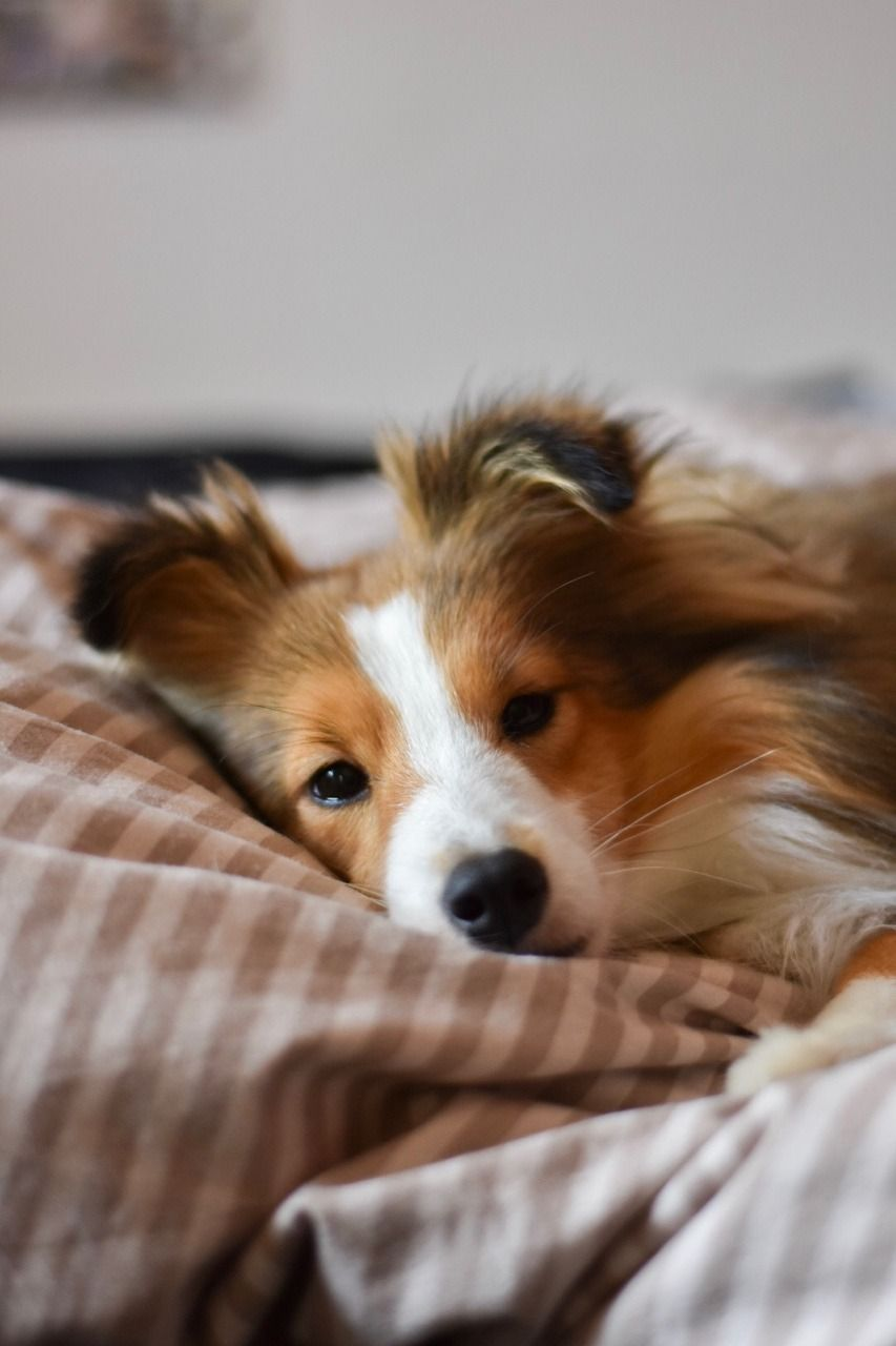 Sheltie Tumblr Raining Cats And Dogs Puppies Dog Lovers