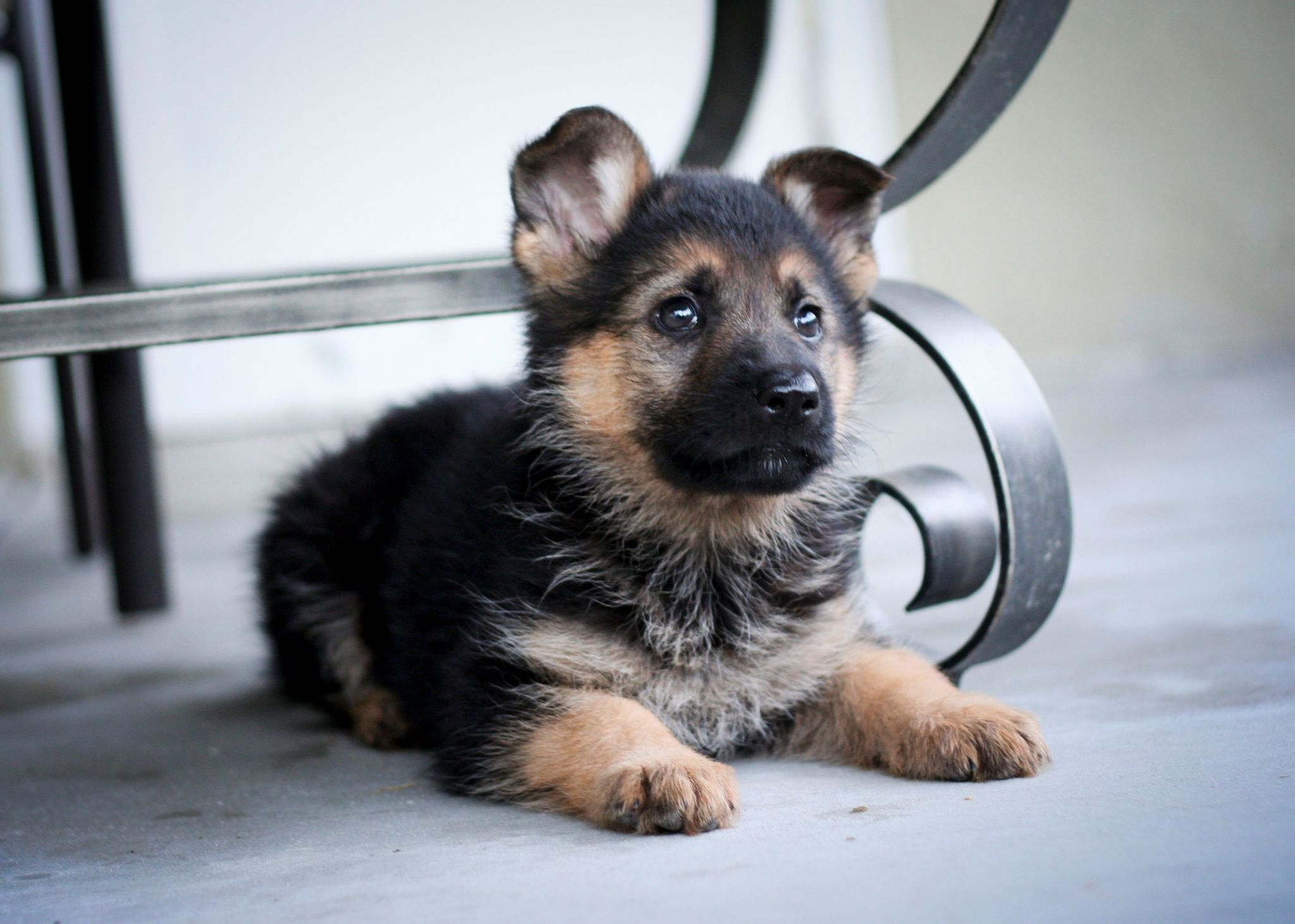 German shepherd hd wallpapers 1080p high quality ololoshka german shepherd puppies are really cute then have a look at the below pictures of adorable german shepherd puppies german shepherd puppies with a baby voltagebd Images