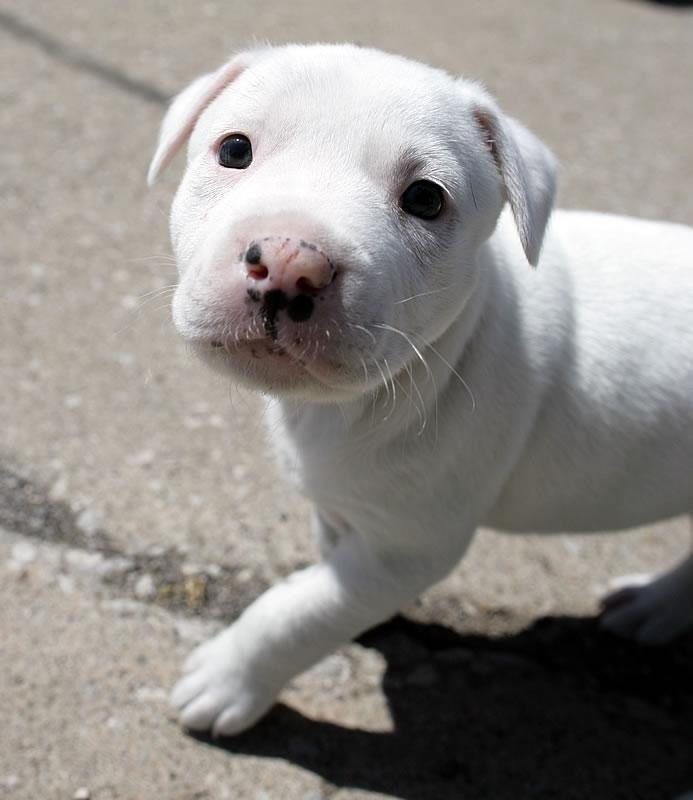 pearly as a puppy deaf pitbull bulldog dalmatian mix 3 now she