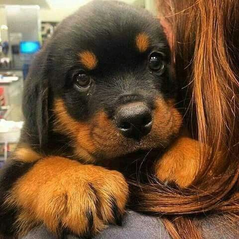 Idea By Just Kute On Life Dog Breeds Rottweiler Dog Puppies