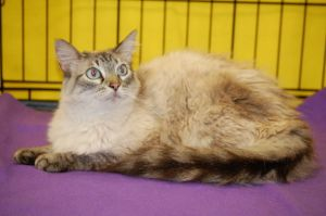 Naomi Is An Adoptable Ragdoll Cat In Germantown Tn Naomi Was Rescued From The Memphis Animal Shelter She Is A Beautifu Pet Finder Animal Shelter Ragdoll Cat