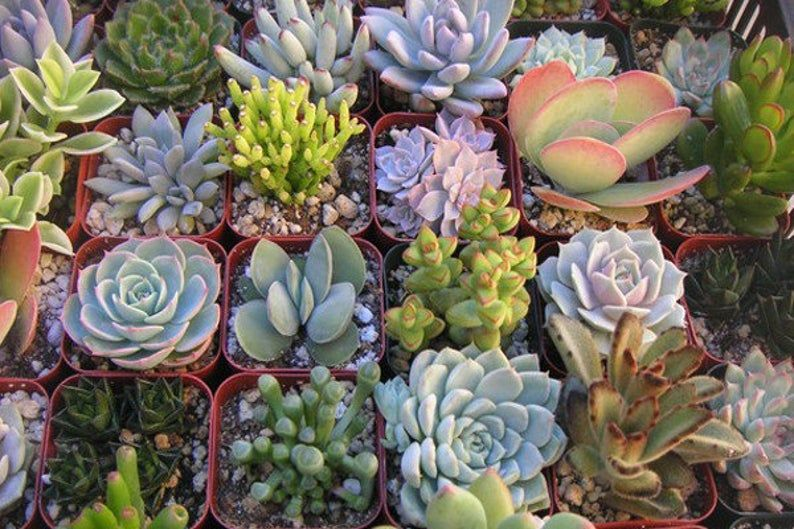 5 Assorted Succulent Plants LIVE Rooted shipped bare root