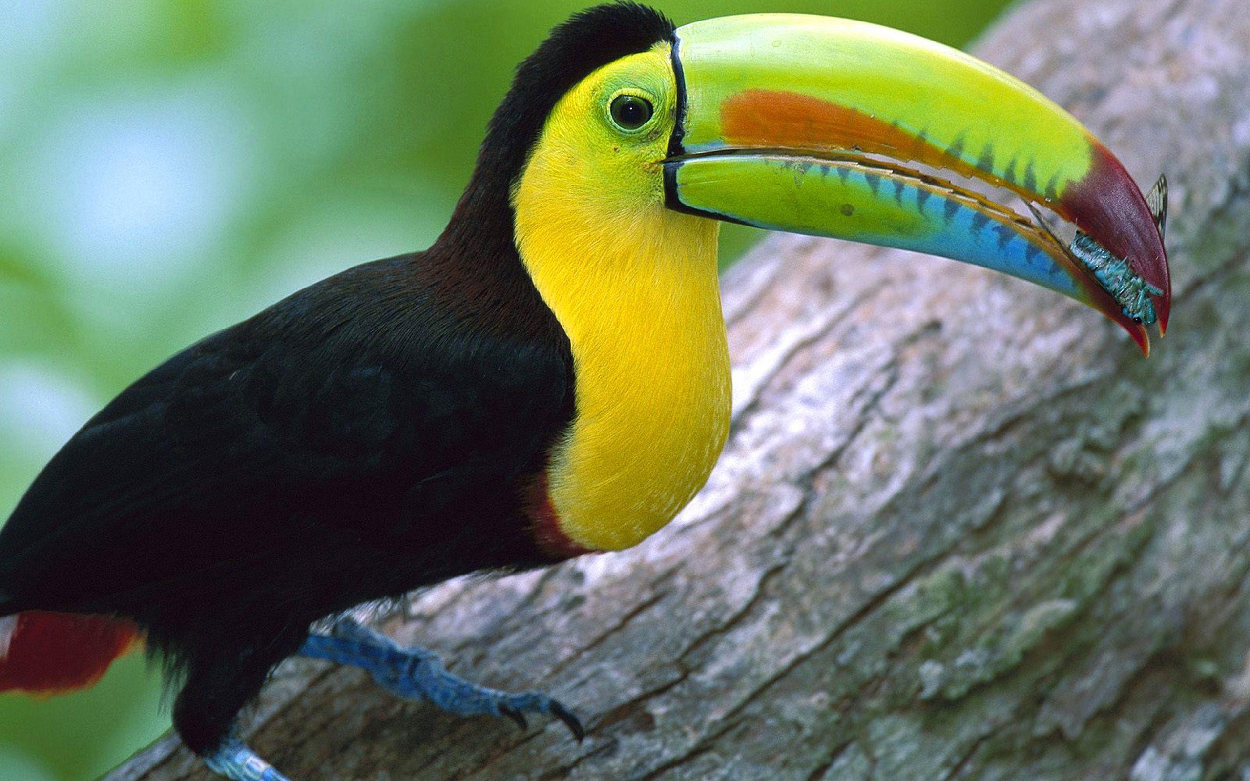 Bec jaune noir oiseau toucan toekan pinterest for Oiseau noir bec jaune