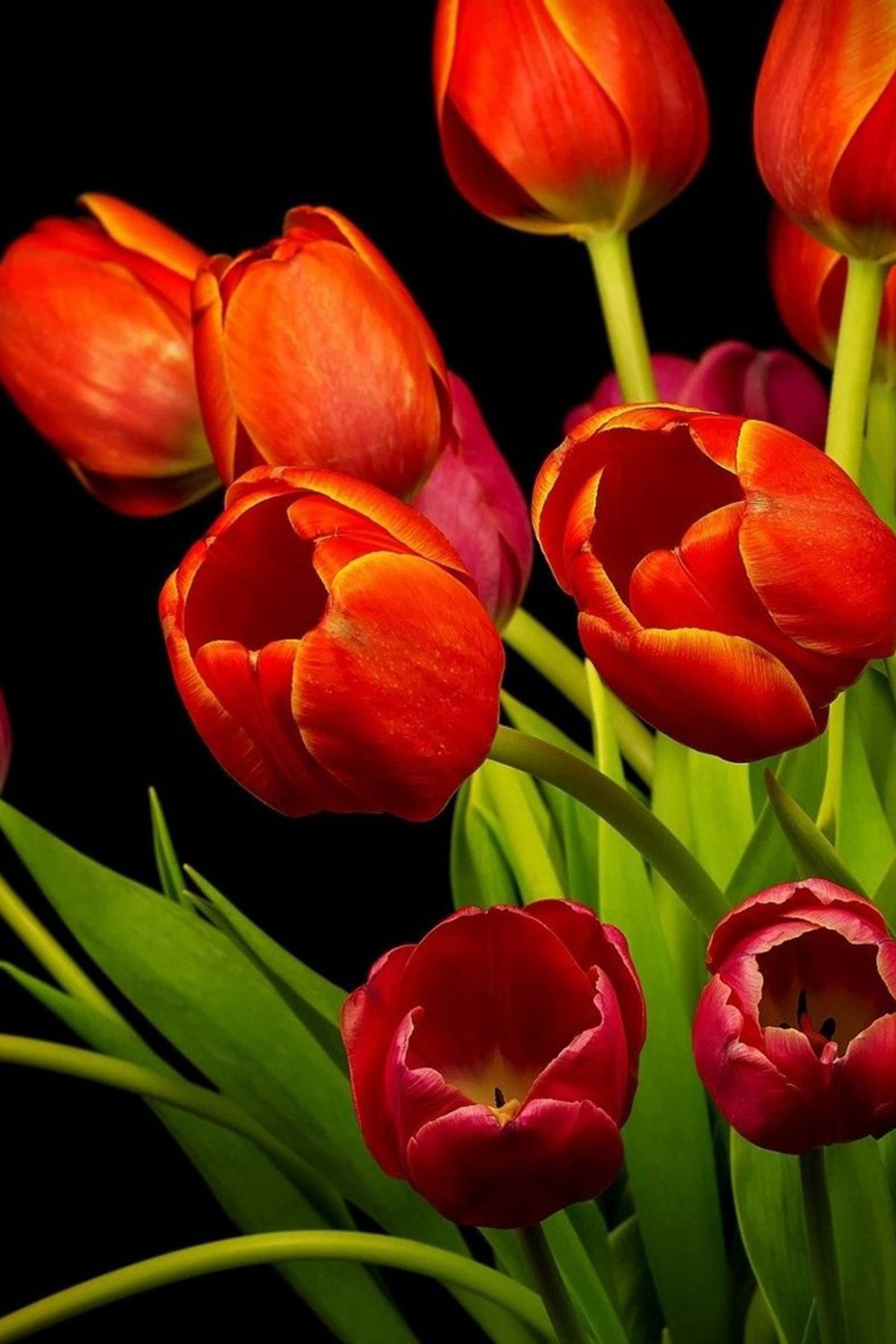 Red Tulip Flowers And Black Background Hd Mobile Wallpaper P Red Tulip Flowers And Black Background Hd Mobile Wall Red Tulips Qhd Wallpaper Flower Backgrounds