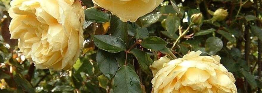 Duchesse d'Auerstadt - Tea-Noisette, Climbing