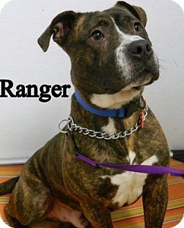 Parma Oh Boxer American Bulldog Mix Meet Ranger A Dog For