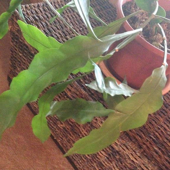 identify plant night blooming cereus askjudyhouseplant411com houseplant 411 flowering house plants identification