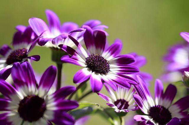 image gratuite sur pixabay fleurs mauve blanc printemps les jolies fleurs pinterest. Black Bedroom Furniture Sets. Home Design Ideas