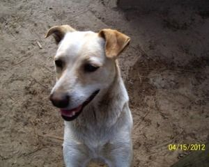 Adopt Starr On Pitbull Terrier Pitbulls Terrier Mix