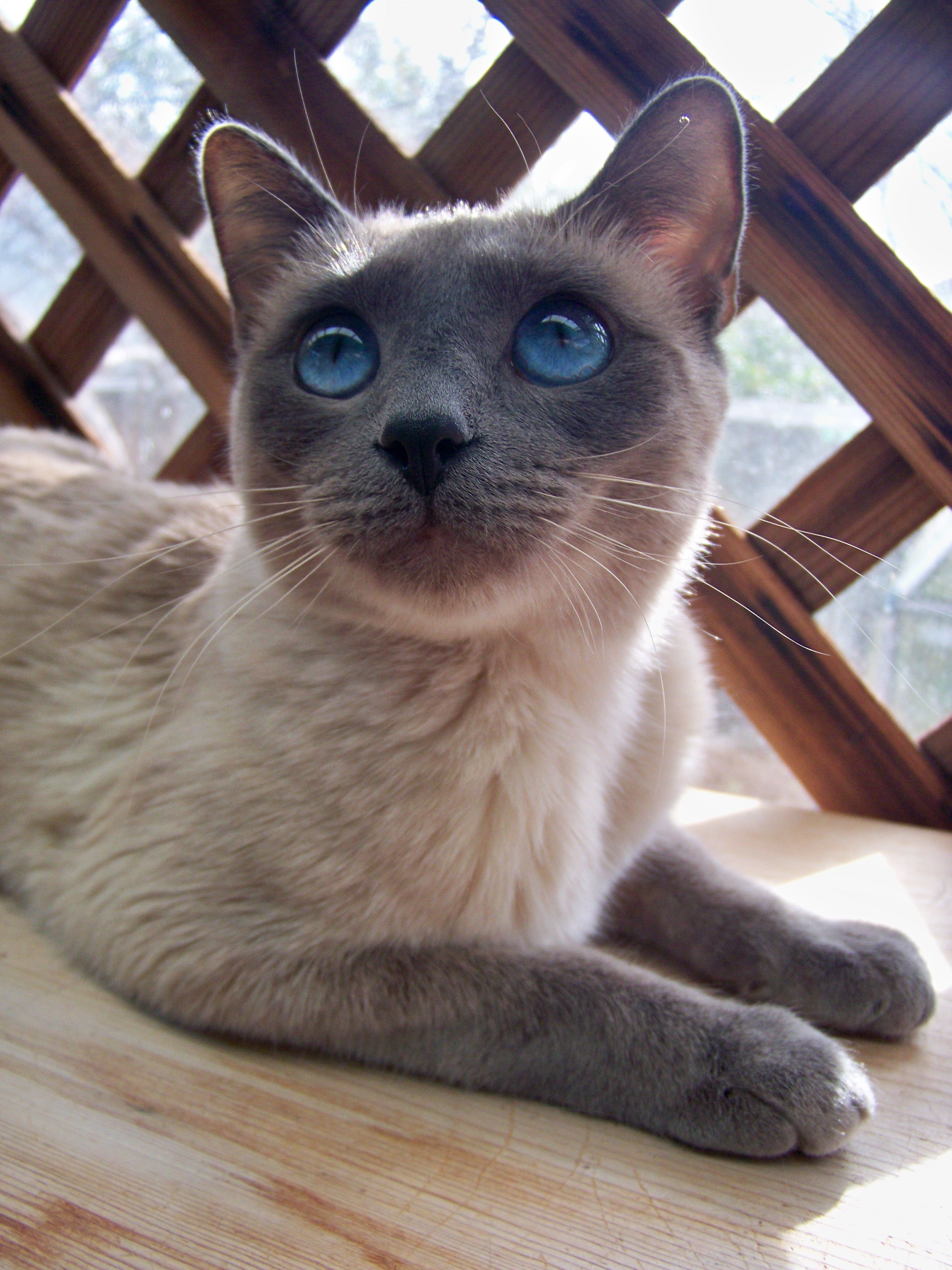Keaweaheuluwynd A Blue Point Queen Siamese Cats Blue Point Cats