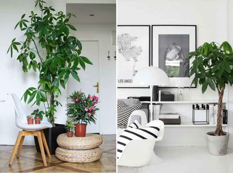 Lykkekastanje Store Stueplanter Indratning Pinterest