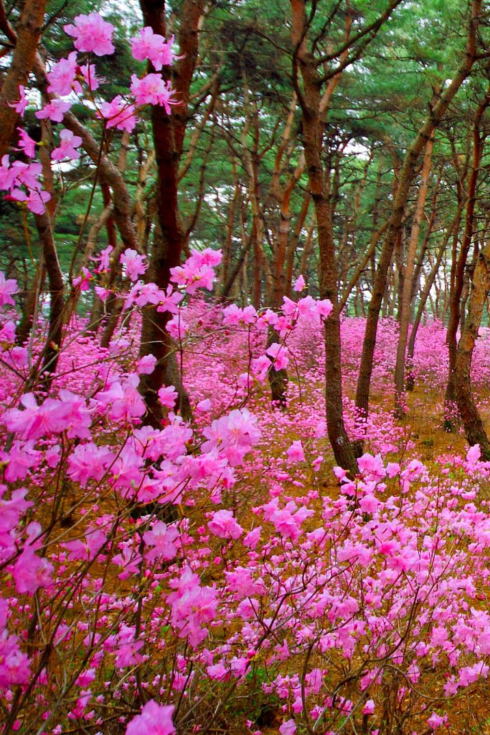 Spring Flower Azaleas In Korea Spring Time Wildflowers Meadows