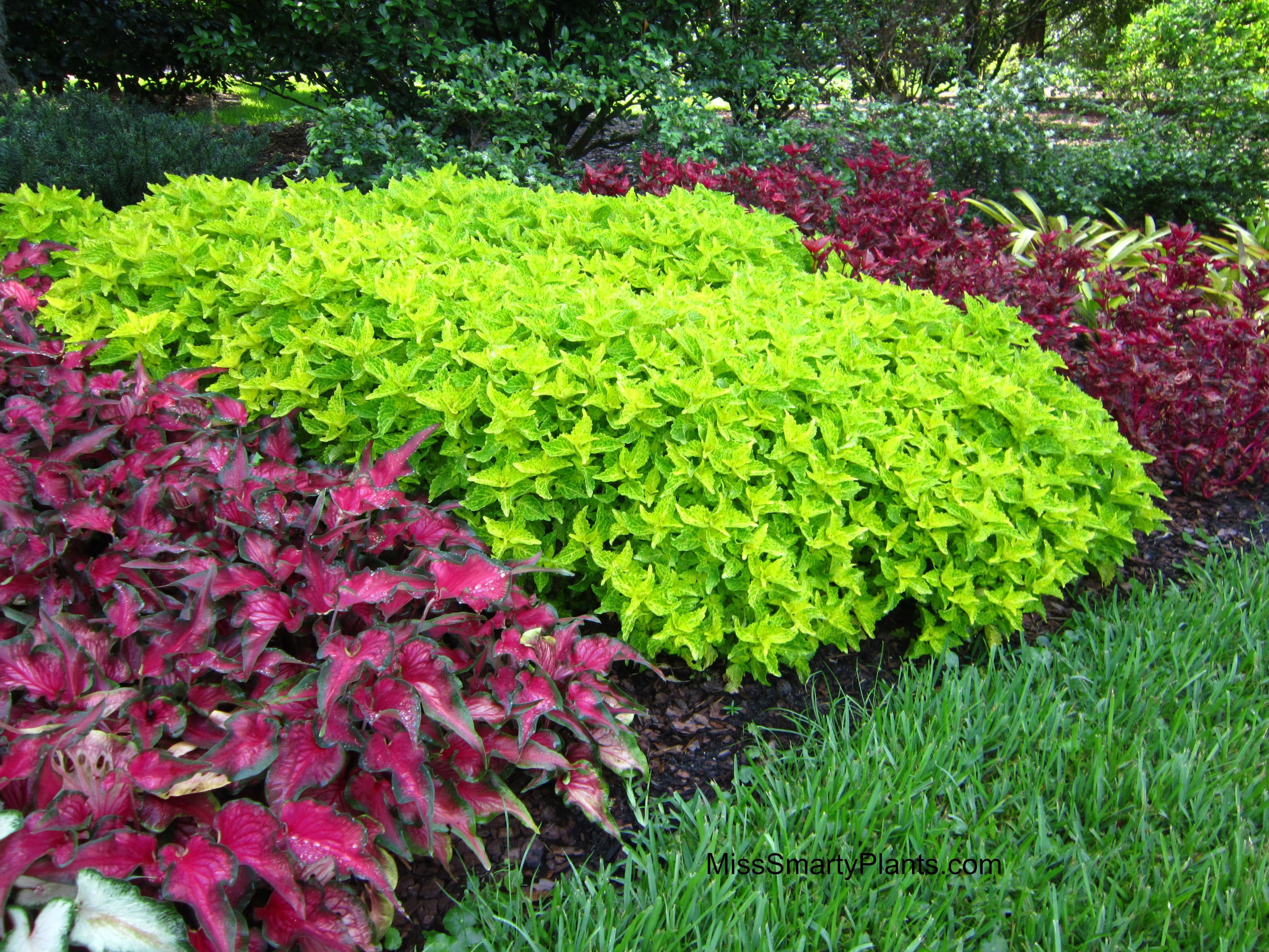 'Electric Lime' coleus is a new, smaller version of ...
