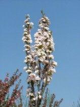 Foto Arbori foiosi PRUNUS SERRULATA AMANOGAWA 175-200, Plante de gradina. Arbusti