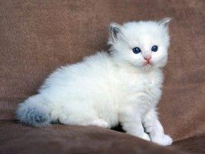 Available Kittens Ragdoll Cat Kittens Cats