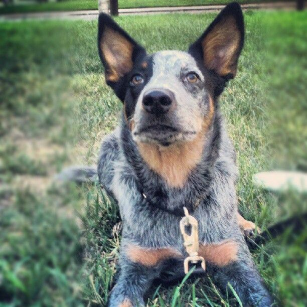 Brutus Australian Cattle Dog Blue Heeler Queensland Heeler Cattle Dogs Rule Australian Cattle Dog Australian Cattle Dog Blue Heeler
