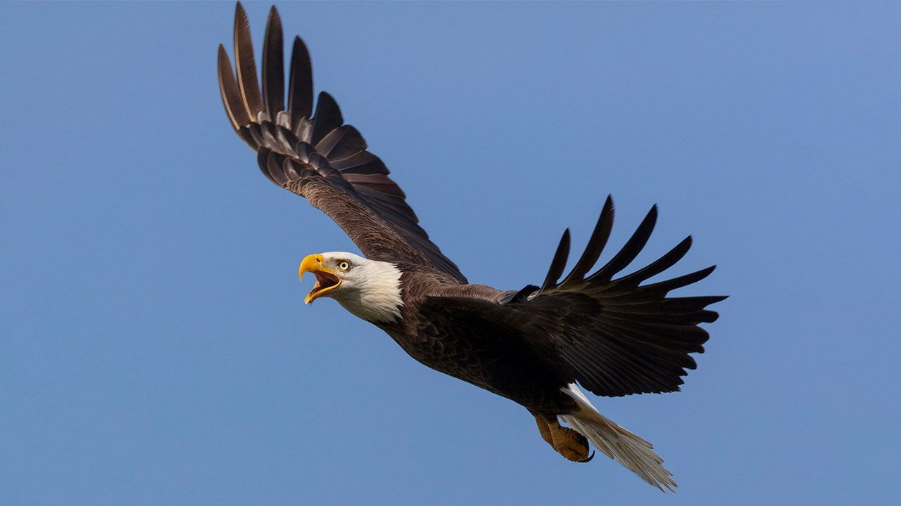 Ohio S Bald Eagle Population Soaring State Officials Say One Of