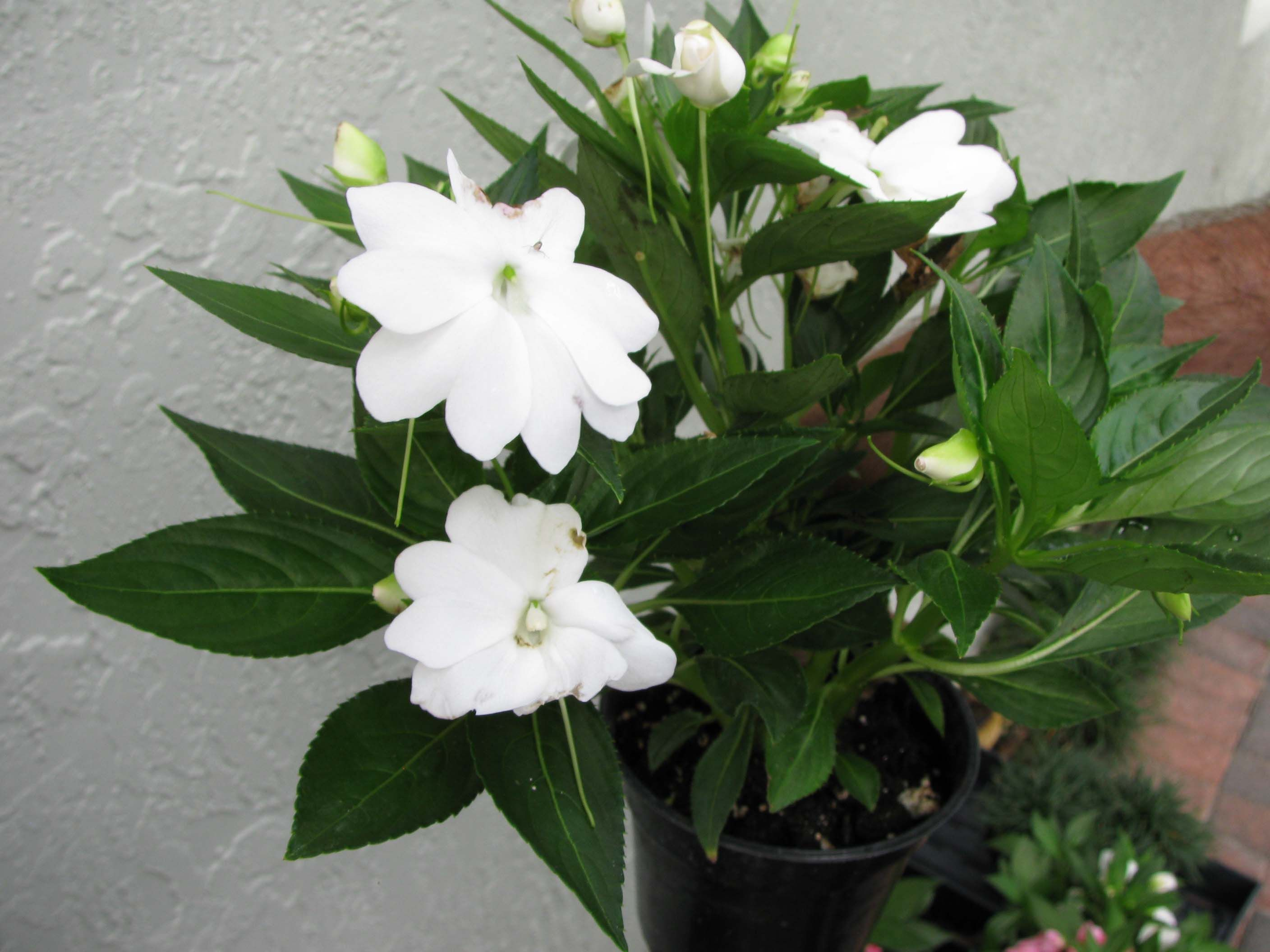 White new guinea impatiens google search white annuals New guinea impatiens