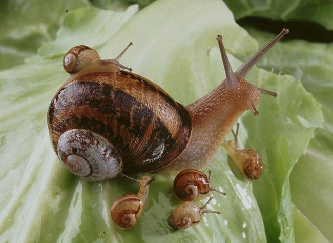 L'élevage d'escargots ou héliciculture