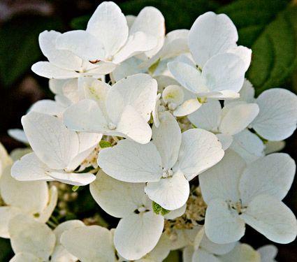 New hydrangea paniculata white diamonds white flower farm common hydrangea paniculata white diamonds white flower farm common name hydrangea hardiness mightylinksfo Gallery