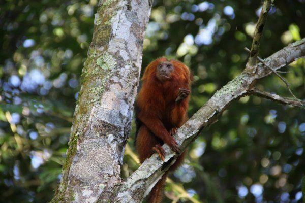 PRESERVAÇÃO Projeto em defesa do mico-leão-dourado é finalista do Prêmio Nacional de Biodiversidade