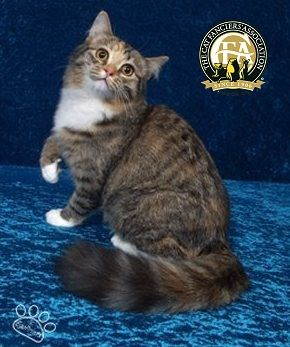 Breed Profile The Ragamuffin Ragamuffin Cat Cat Breeds Cats And Kittens