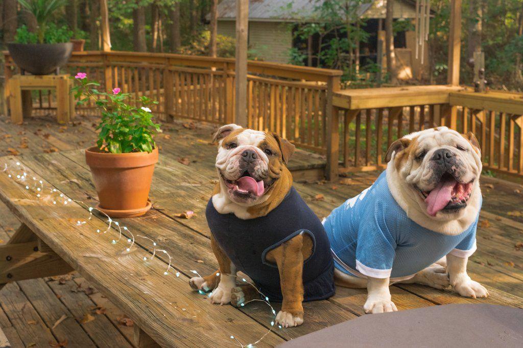Mobility Loss Dog Beds Big Barker Case Study Dog Bed Dogs