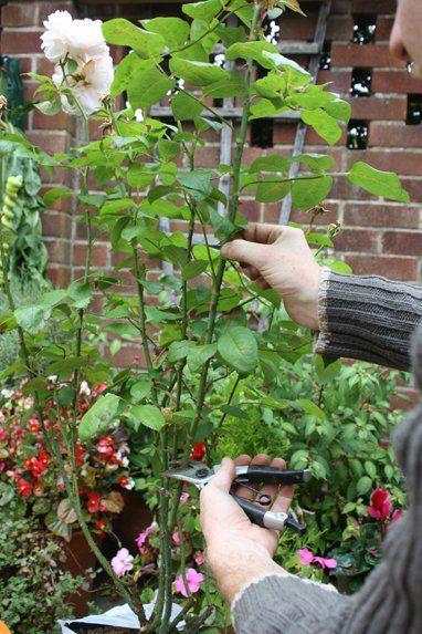 Clavar Rosas En Patatas Si Quieres Sembrar Rosas Frondosas Y Bonitas Este Es El Mejor Truco Rose Cuttings Growing Roses Roses In Potatoes